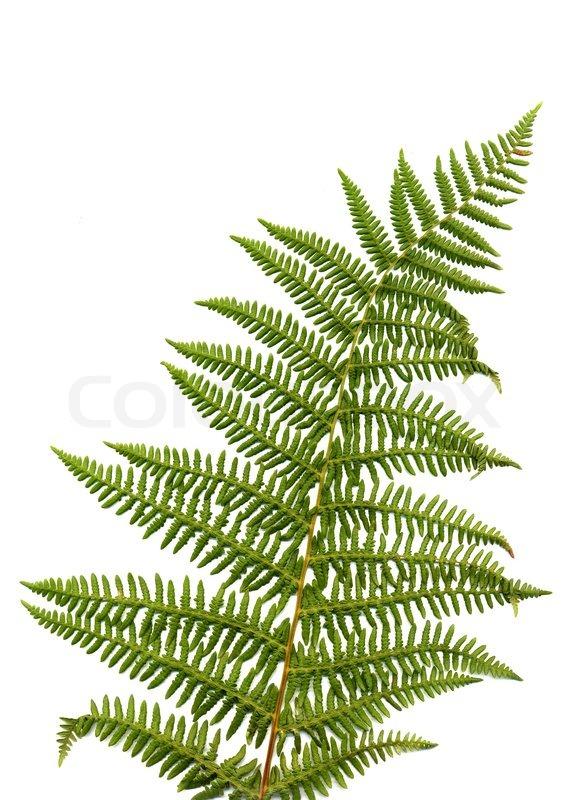 Fern Leaf Isolated On White Background Stock Photo