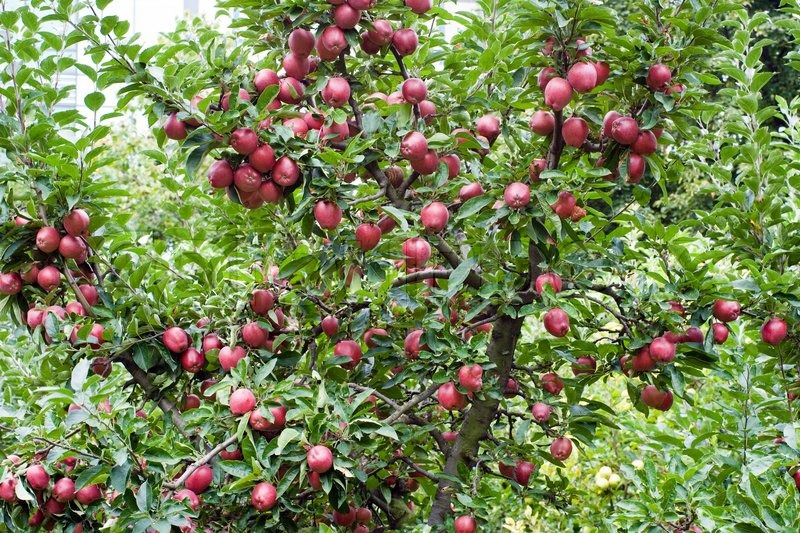 Falling Leaves Wallpaper Blackberry Red Ripe Apples Hanging On The Branch Of Apple Tree In The