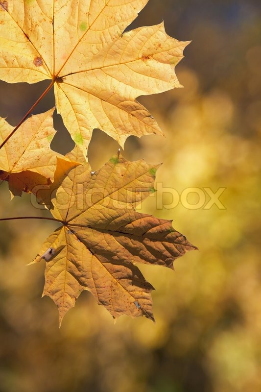 Free Fall Foliage Wallpaper Maple Leaves On Autumn Background Orange Vertical Stock