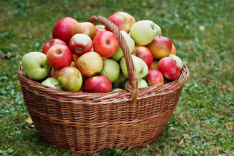Vegetable Garden In Fall Wallpaper Healthy Organic Apples In The Basket Stock Photo Colourbox