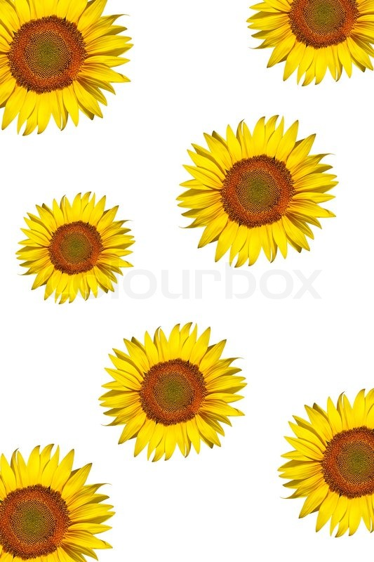 Cute Floral Laptop Wallpapers Sunflower Background Isolated On A White Stock Photo