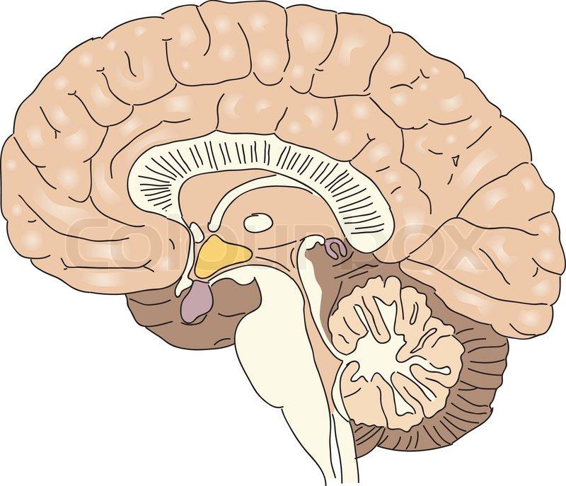 brain model diagram hager mcb wiring tværsnit af den menneskelige hjerne vector illustration | stock vektor colourbox