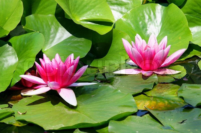 Pond Plant Suppliers