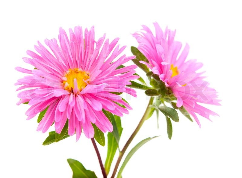 Pink Aster Isolated On White Background Stock Photo