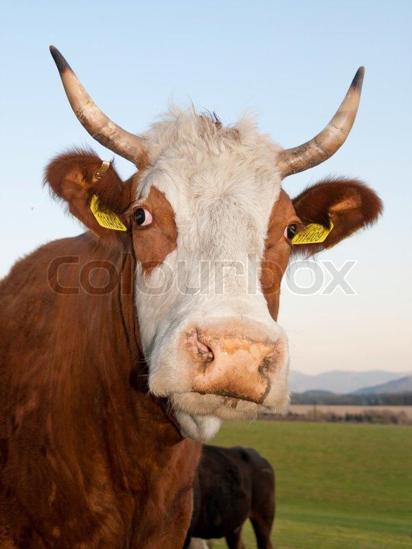 Closeup Portrt der gehrnte Kuh Kopf   Stockfoto