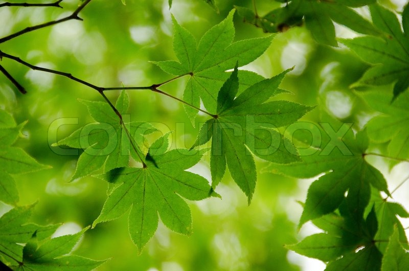 Tree With Leaves Falling Wallpaper Green Maple Leaves As Background Structure Stock Photo