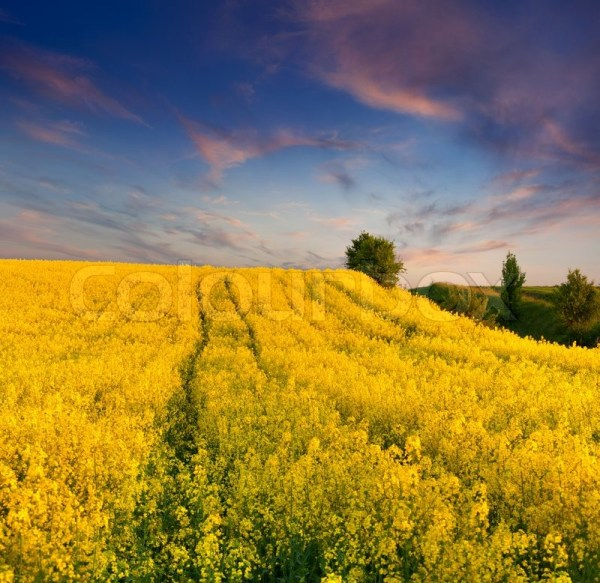 summer landscape with field of