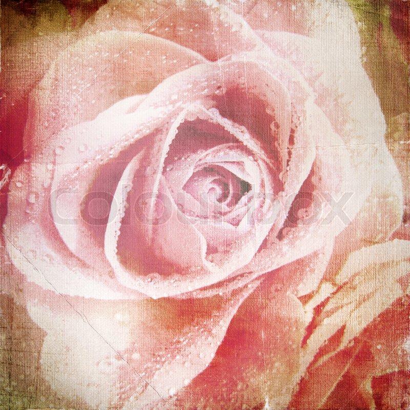 Schne Rose Hintergrund  Stockfoto  Colourbox
