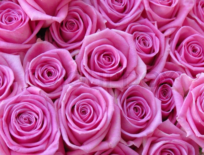 Pinke Bilder Lots Of Pink Roses | Stock Image | Colourbox