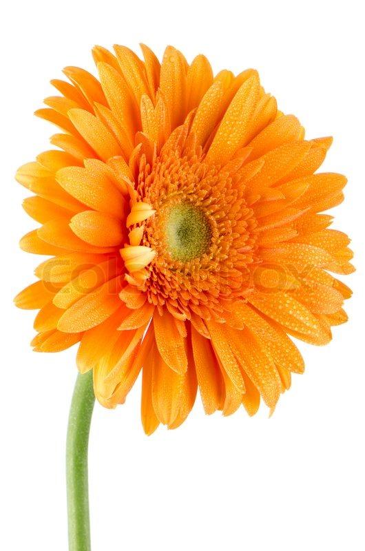 Fall Daisy Wallpaper Orange Gerbera Daisy Flower Stock Photo Colourbox