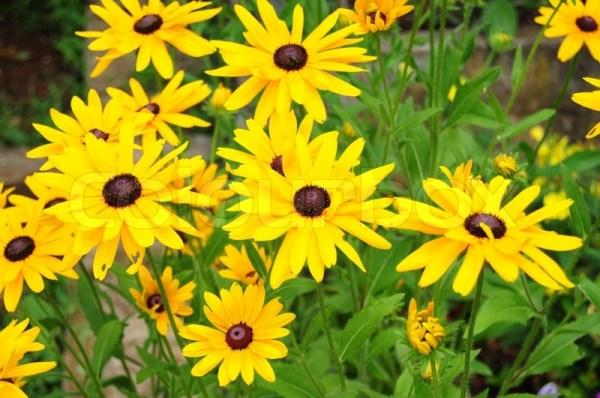 beautiful yellow garden flowers