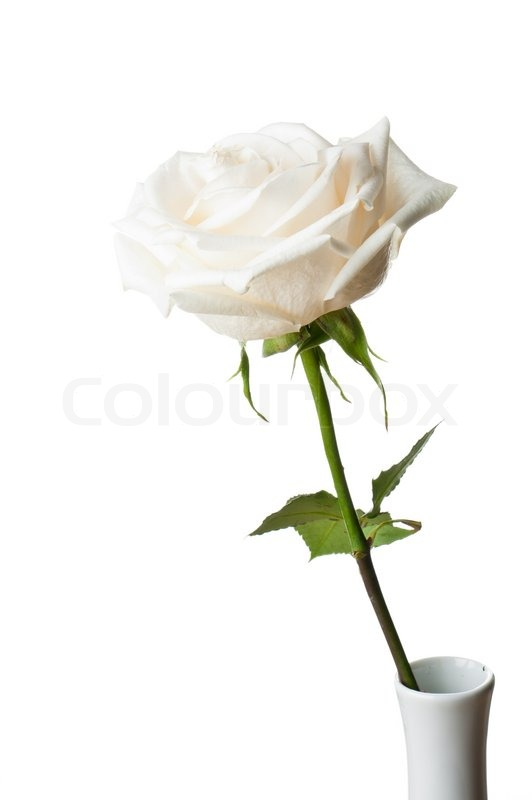 Beautiful Single Rose In A Studio Setting Stock Photo