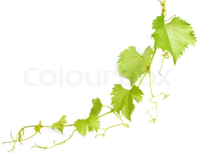 Green wine leaves  Stock Photo  Colourbox