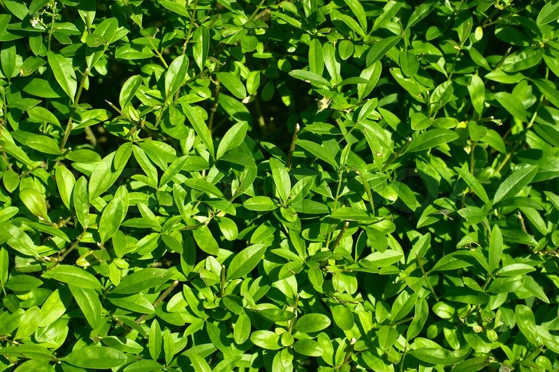 Green Hedge Plant Surface Stock Photo Colourbox
