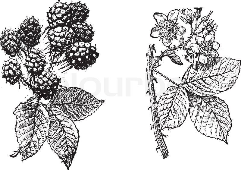 Blackberry flower, Blackberry fruit, vintage engraving