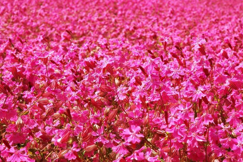 Pink Flower Field Stock Photo Colourbox