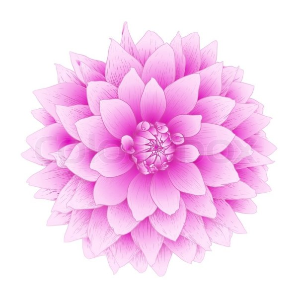 Vector dahlia flower Stock Vector Colourbox