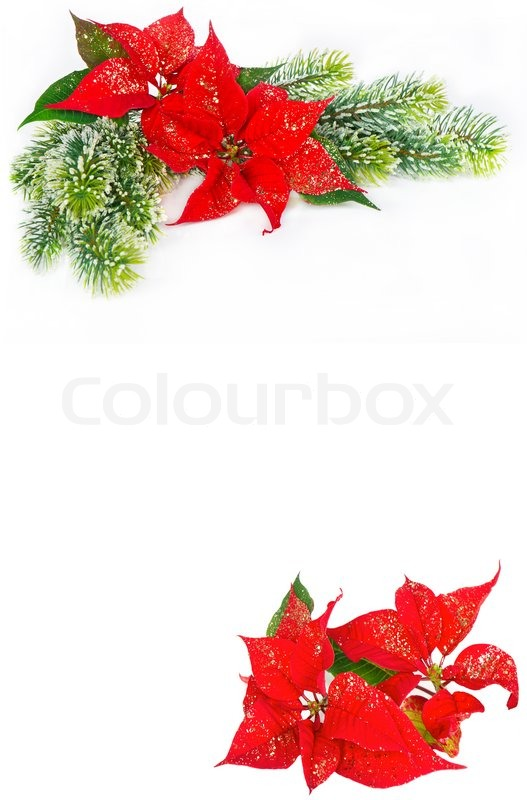 Festive Background With Christmas Flower Poinsettia