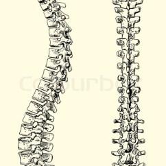 Bones Human Skeleton Diagram Back Echo Leaf Blower Parts Menschlichen Wirbelsäule | Vektorgrafik Colourbox