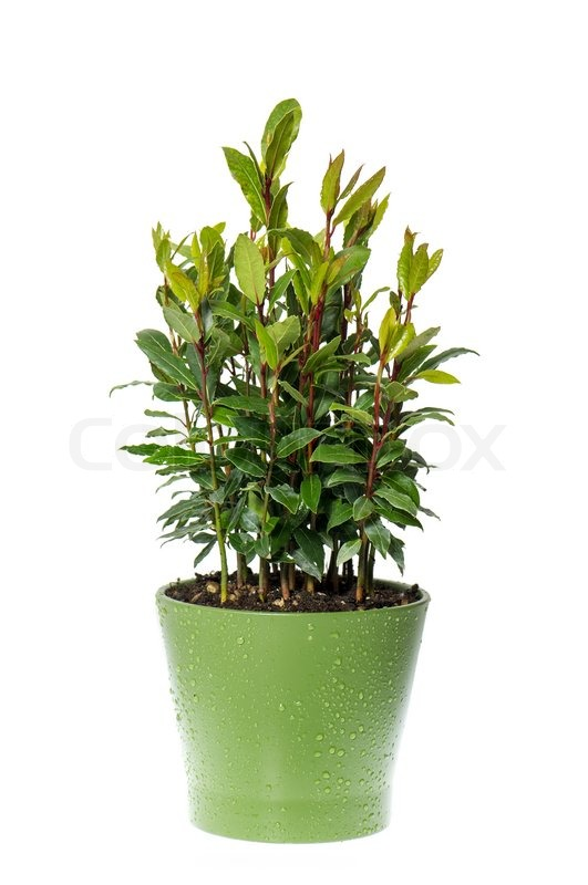 Bay laurel plant in pot on white background  Stock Photo  Colourbox