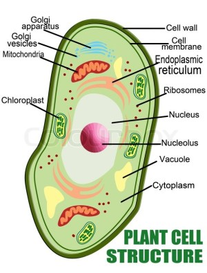 Plant cell structure, vector illustration Helpful for Education & Schools | Stock Vector | Colourbox