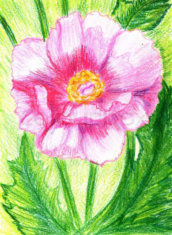 Pfingstrose Blume gemalt   Stockfoto  Colourbox