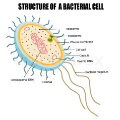 Gram Positive Cell Wall Diagram Light Bar Wiring No Relay Structure Of A Bacterial Cell, Vector Illustration For Basic Medical Education, Clinics ...
