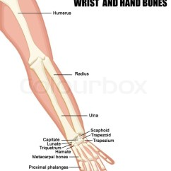 Muscle Diagram Anterior Hand Robertshaw Hot Water Thermostat Wiring Anatomie Der Unterarm, Handgelenk Und ... | Vektorgrafik Colourbox