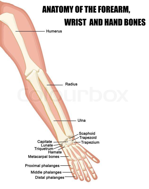 muscle diagram anterior hand energy level for carbon anatomie der unterarm, handgelenk und ... | vektorgrafik colourbox