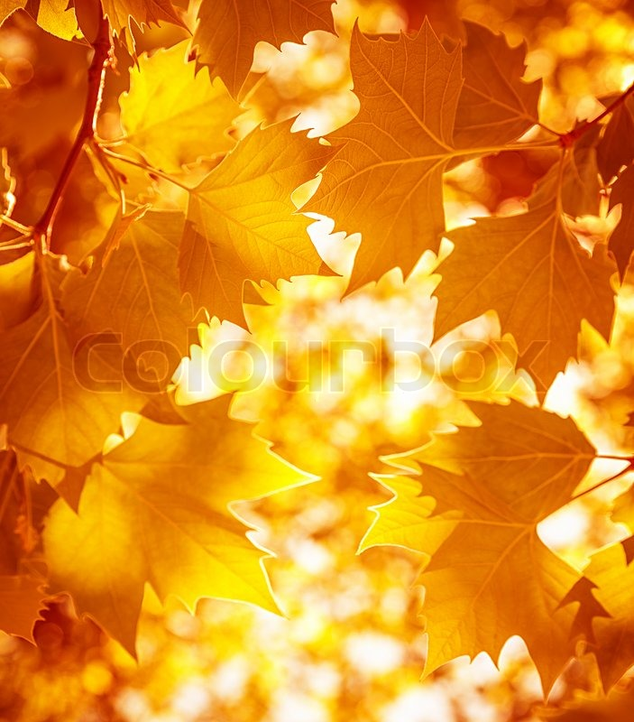 Falling Maple Leaves Wallpaper Dry Autumnal Leaves Background Golden Maple Tree Foliage
