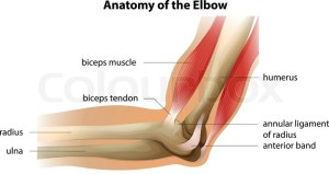 Illustration showing the anatomy of the elbow   Stock