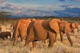 Samburu elephants