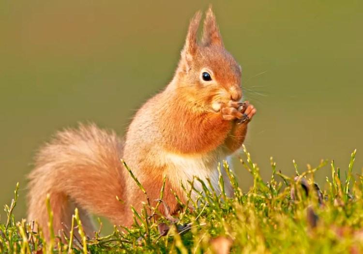 Red Squirrel feeding on a pine cone in Argyll