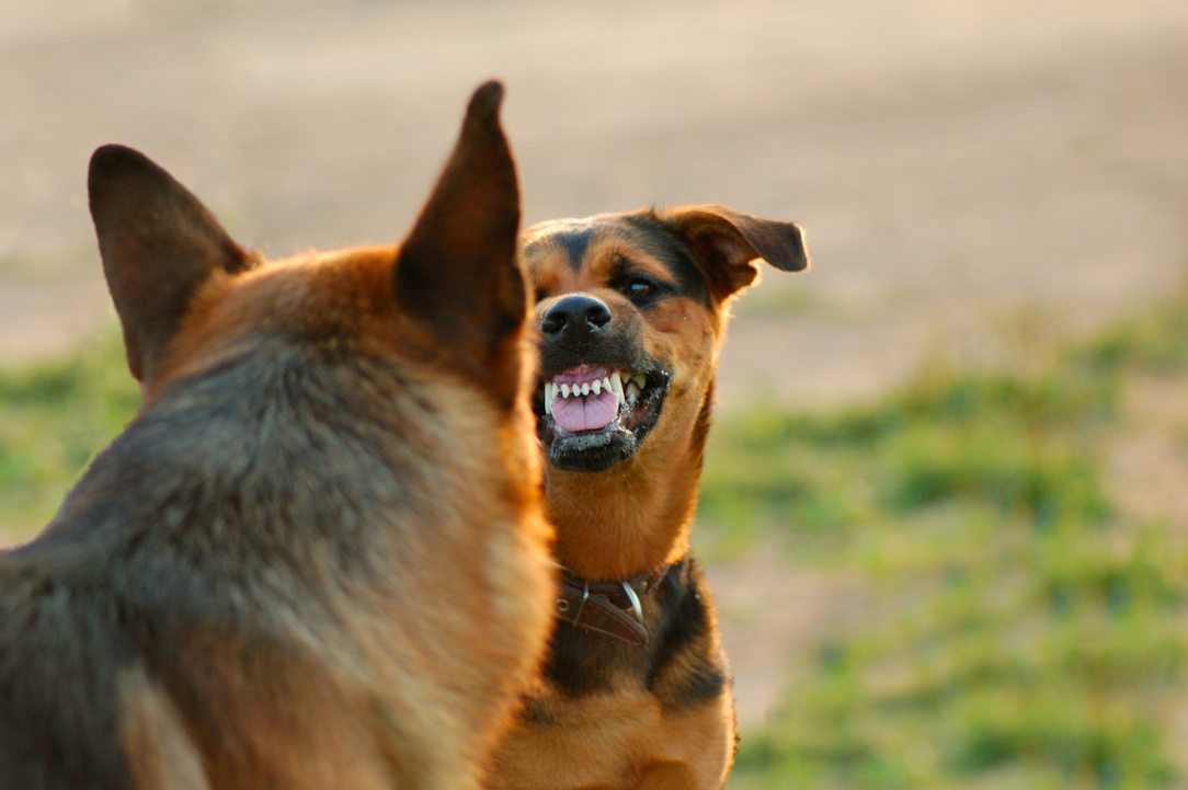 Девојче нападнато од кучиња во Охрид