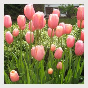 Menton (10 Bulbs)