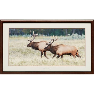 Bull Elk Sizing Up the Competition -- Jeff Lane