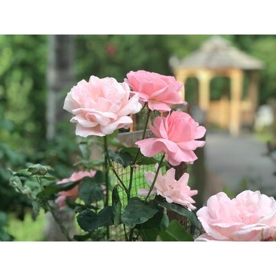 Roses and Gazebo -- Phyllis McDaniel