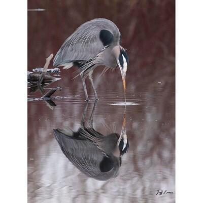Heron Reflecting -- Jeff Lane