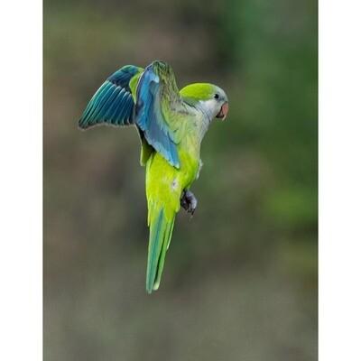 Blue Green Parakeet -- Jeff Lane