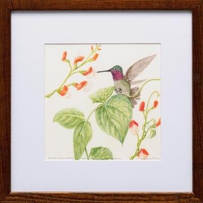Anna's Hummingbird Feeding on Scarlet Runner Bean Flowers -- Sylvia Portillo
