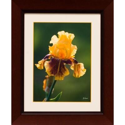 Yellow Iris -- Jeff Lane