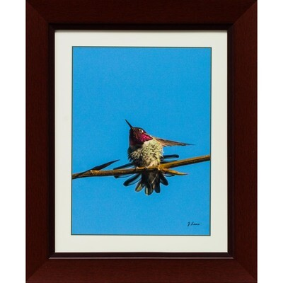 Anna's Hummingbird 3 -- Jeff Lane