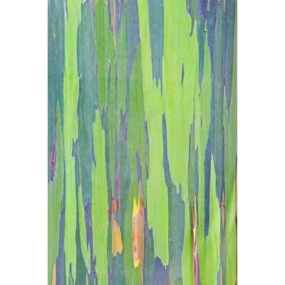 Rainbow Eucalyptus -- Rob Tilley