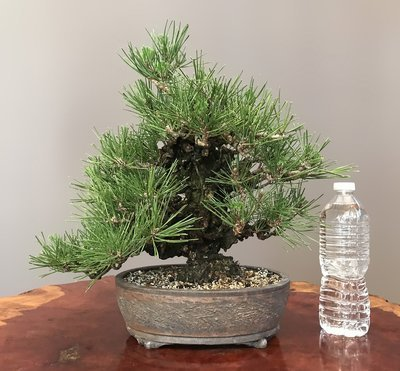 ANISHIKI 'CORK BARK' BLACK PINE