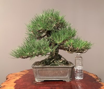 JAPANESE BLACK PINE - SOLD -