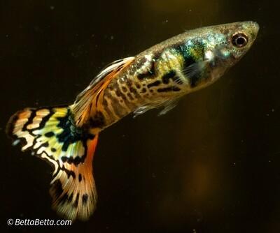 1 Trio Live Guppy Fish Fancy Tiger King Cobra USA home breed