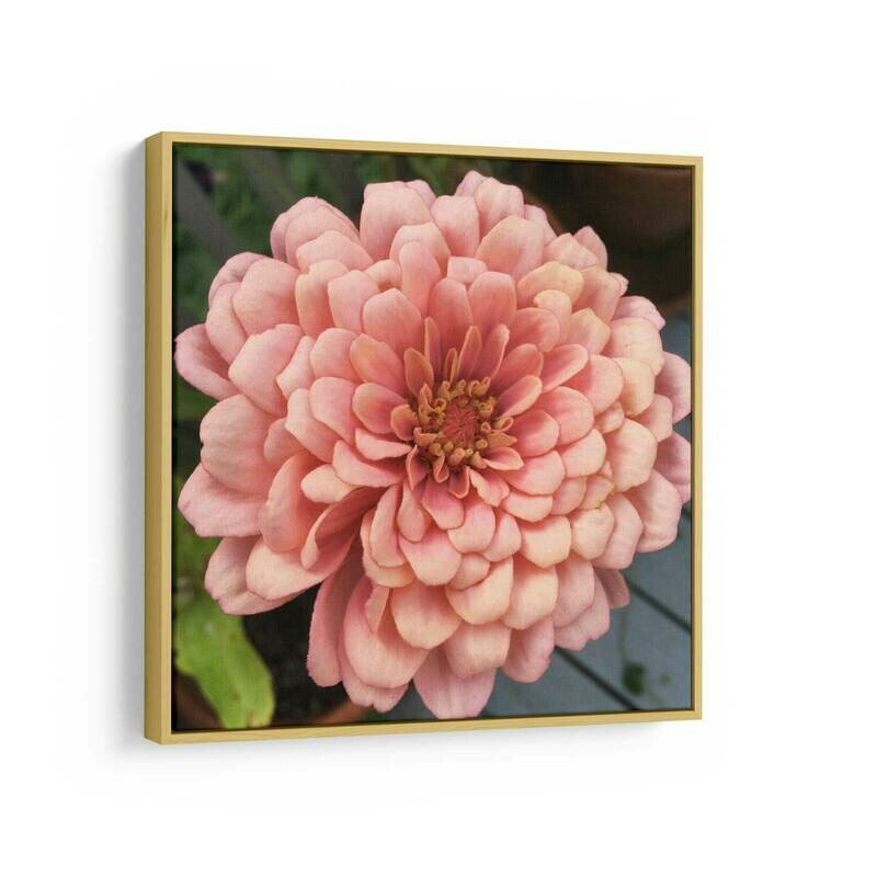 Pink Zinnia Photo | Canvas Print