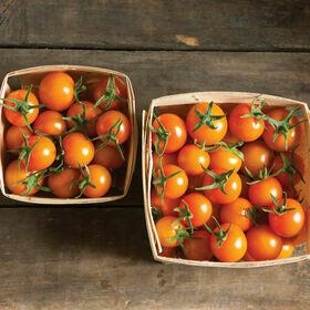 Sungold Tomato Plant GALLON SIZE