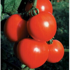 Big Beef Tomato Plant 4