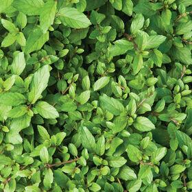 Mint Herb Plant 4